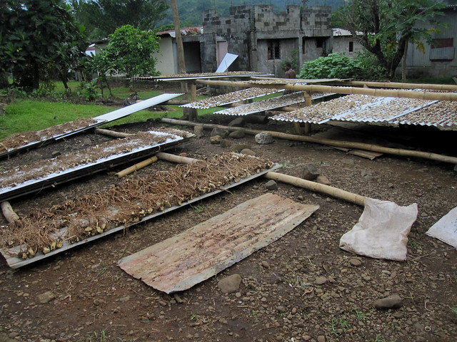 Ovalau 43 - Lovoni - Drying kava roots by Ben Beiske