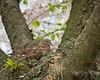 Good taste... (Christine Kapler / PASSED AWAY) Tags: white home birds mourning nest wind bokeh dove pigeons cherryblossoms nikkor105mmf28vr nikond300 rbgardens mourningpigeon