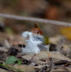 Philippine Tailorbird (Orthotomus castaneiceps) (Bram Demeulemeester - Birdguiding Philippines) Tags: bramdemeulemeester birdguidingphilippines philippinesbirdingtours philippinetailorbird