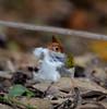 Philippine Tailorbird (Orthotomus castaneiceps) (Bram Demeulemeester - Birdguiding Philippines) Tags: bramdemeulemeester birdguidingphilippines philippinesbirdingtours philippinetailorbird