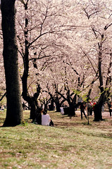 Afternoon Picnic (Rico Adiputra) Tags: toronto flower film highpark blossoms sakura cherryblossoms nikonf801 50mmai