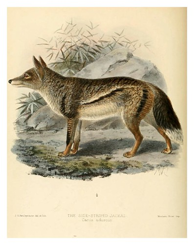002-Chacal rayado-Dogs jackals wolves and foxes…1890- J.G. Kulemans