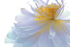 Lotus Flower - IMG_4886-b-1000 (Bahman Farzad) Tags: flower macro yoga peace lotus relaxing peaceful meditation therapy lotusflower lotuspetal lotuspetals lotusflowerpetals lotusflowerpetal