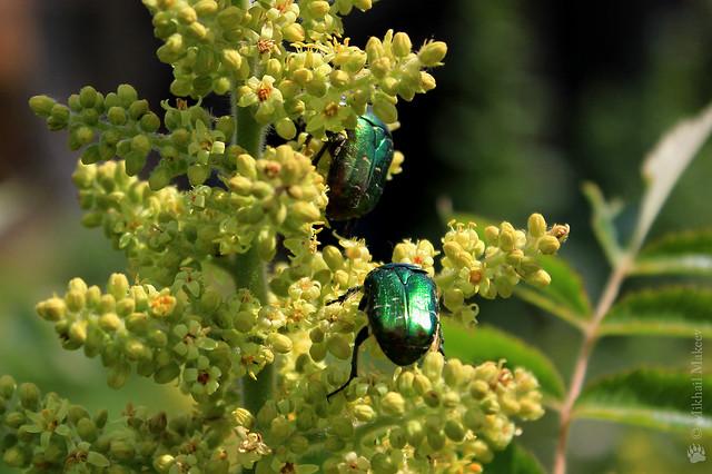 Сумах оленерогий, или Сумах пушистый (Уксусное дерево) — Rhus typhina & Золотистая бронзовка — Cetonia aurata