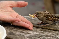 Chip please (Belinda Fewings (3 million views. Thank You)) Tags: belindafewings panasoniclumixdmc bokeh city street seaside colour colourful artistic pbwa creativeartphotograhy creative arty beautiful beautify beauty lovely outdoors outside out best depthoffield garden color colours colors interesting interest sparrow chips chip eating close friend tiny brave hand table studland dorset purbecks february wood al fresco alfresco bankesarms bankesarmspublichouse nationaltrust love trust rspb bbcwinterwatch bbcspringwatch nationalgeographicwildlife one 1 single alone thank