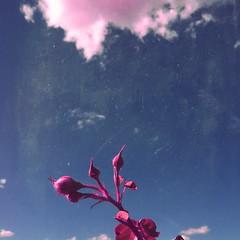 alternativa (meeeeeeeeeel) Tags: rosebuds roses corderosa botãoderosa rosa pink squareformat textura azul blue bluesky céuazul nuvens céu clouds sky surreal iphone iphoneography mextures deluxefx hipstamatic
