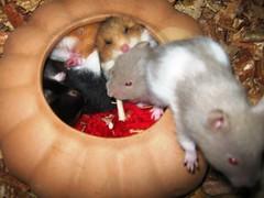 09 10 04 Jaulas y acces 042 (TeTe`) Tags: hamsters durmiendo juveniles