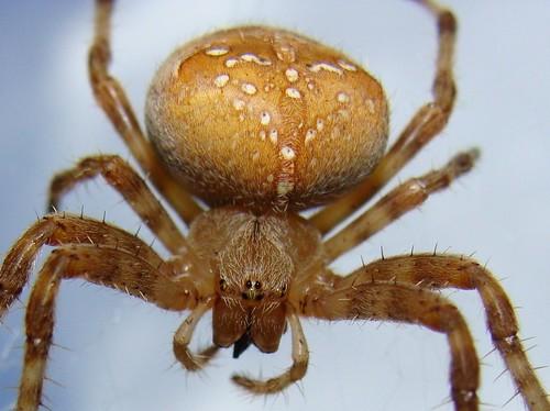 Jack-o-lantern spider w.wood