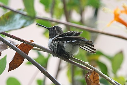 Anna's Hummingbird 1009u1-4