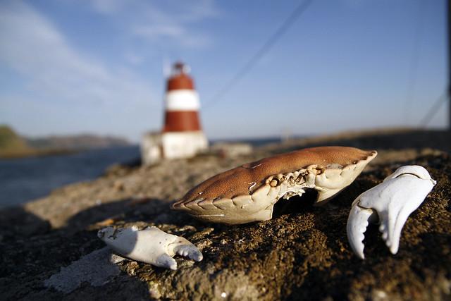 På holmene ved Lille Presteskjær Fyr ligger krabbeskallene tett i tett. Les om fyrferie her.