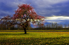 Apple tree (Billy Wilson Photography) Tags: november autumn red cloud ontario canada storm tree fall apple grass clouds digital canon eos rebel branch cloudy space branches atmosphere ground change lonely xs soo northern appletree saultstemarie northernontario algoma angiosperm enpty billywilson photoshopcs4