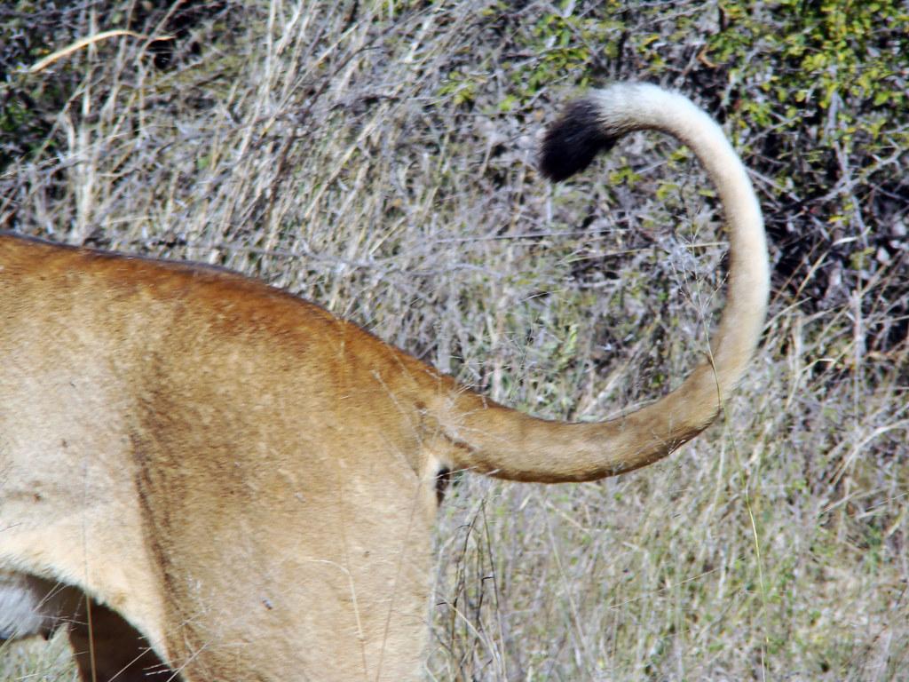 DSC08296 Lion tail