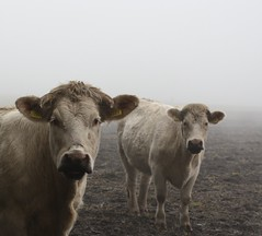 Cattle (Lesneyman) Tags: autumn mist holland fall animal fog cow cattle cows herbst herfst thenetherlands dew vee dieren dier hst dauw drenthe koe koeien balloo kampsheide dikbil lesneyman