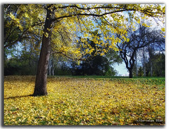 The Yellow Carpet (servalpe) Tags: madrid park parque autumn west color fall hoja alfombra leaves yellow landscape hojas carpet leaf sony otoo nik topaz parquedeloeste adjust oeste h5 dsch5 efex colorphotoaward servalpe