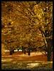 Amarillo Otoñal (Santos M. R.) Tags: madrid autumn red colors rojo martin colores amarillo santos otoño yelow d80 santosmr