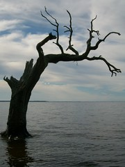 Isolation (Chris - Topher) Tags: park tree water dead woods nagshead shore sound isolation outerbanks obx