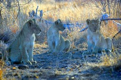 Lion cubs (Arno Meintjes Wildlife) Tags: africa park camp wallpaper nature animal southafrica mammal bush wildlife lion safari bigcat predator rsa krugernationalpark kruger big5 pantheraleo parkstock genuspanthera arnomeintjes