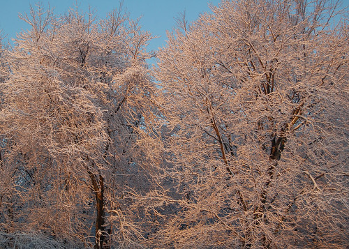 Snow Trees at Dawn by dbang