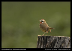 Siberian Rubythroat (M V Shreeram) Tags: india bird nature canon wildlife ave assam teagarden avifauna kaziranga siberianrubythroat lusciniacalliope muscicapidae 300mmf4is 40d wwwvisualquotientnet