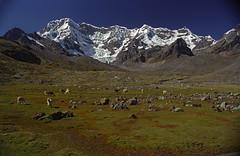 Lamas et hautes montagnes (dyonis) Tags: peru montagne trekking trek moutains prou vilcanota cordilire
