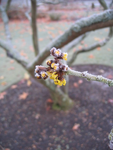 Witch Hazel - Dec 09