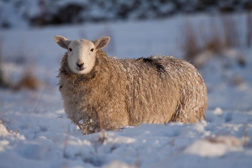 Chilly sheep
