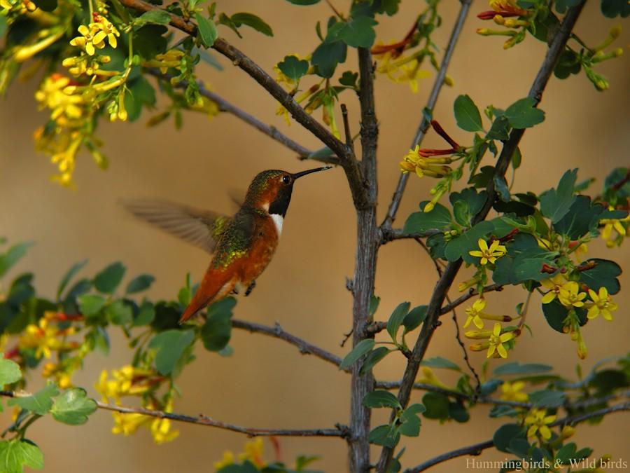 Allen's Hummingbird 01101-6