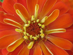 (tessesq) Tags: summer orange plant flower color macro beautiful beauty closeup fleurs garden botanical photography photo leaf petals stem flora perfect colorful pretty outdoor vibrant gorgeous best petal most stunning excellent bloom symmetrical serene bouquet exquisite botany striking horticulture magnificent eyecatching flawless showy