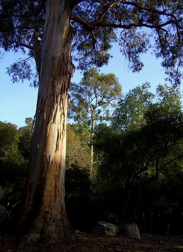 Eucalyptus Rocky Nook