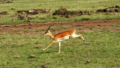 3 Up--1 Down (Picture Taker 2) Tags: africa nature beautiful outdoors colorful pretty native wildlife unusual wilderness plains impala upclose mammals wildanimals ontherun africaanimals masimarakenya naturewatcher