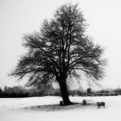 Three sheep under an oak tree