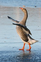 Greylag Goose (AMKs_Photos) Tags: bird nature birds animal canon photography eos scotland angus wildlife goose forfar loch anser wading greylag amk 450d amksphotos mygearandme