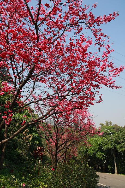 樹林大同山青龍嶺的櫻花林0033