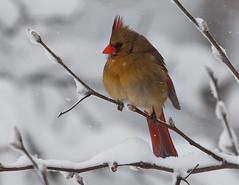 Cardinal Biggles (crabsandbeer (Kevin Moore)) Tags: winter snow birds female cardinal wildlife baltimore blizzard ornithology 2010