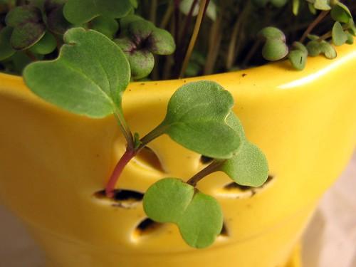 Micro Greens