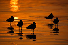 Flock of five Mew Gulls at sunset, shown in silhouette on the golden wet sand (mikebaird) Tags: sunset bird wet strand golden sand gull gulls flock things morro mew morrostrand curlew americanus numenius numeniusamericanus mewgull ongbilled