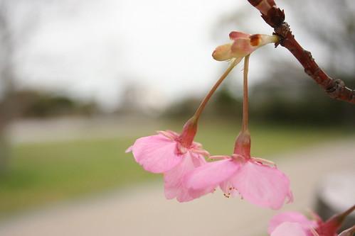 佐鳴湖の河津桜(その3)