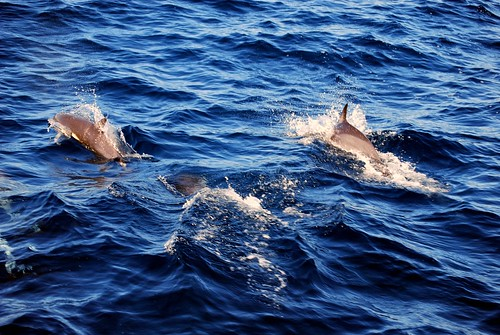 Dolphins off of Dana Point Harbor