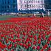 Washington - Tulips on Pennsylvania Avenue