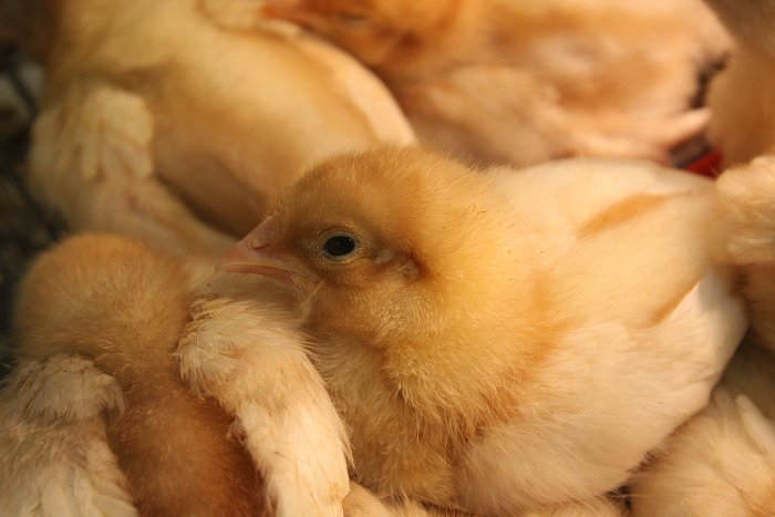 03-11-chickens3