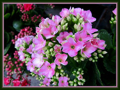 Kalanchoe blossfeldiana (Christmas Kalanchoe) with pink flowers, at a garden nursery