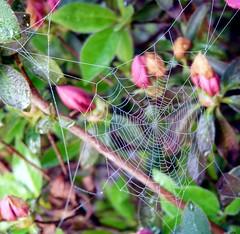 Web n' Dew (Charlie Carroll) Tags: water spider drops web bej creativemoment crazyheart