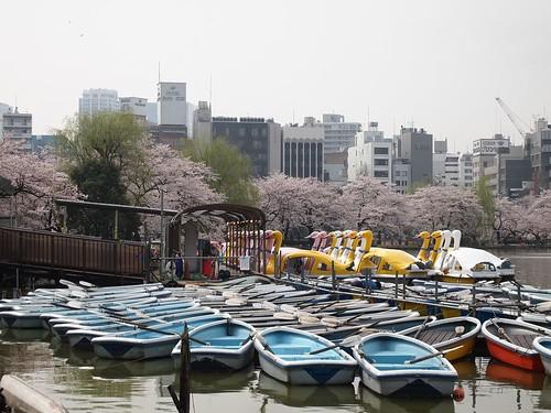 ボートごしに桜