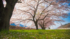 Under the cherry blossom tree, (TheJbot) Tags: trees japan 桜 cherryblossom 169 sigma1020mm さくら