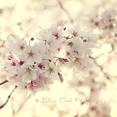 """Never look back unless you are planning to go that way."" (slcook52 (Sylvia)) Tags: pink flowers white spring bokeh cherryblossoms sigma105mmf28 copyrightedallrightsreserved"