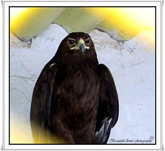 Eagle (Beautiful flower*) Tags:               eagle falcon feathering cage bird birds appointed sharp standing zoo flower beautiful beak when i went