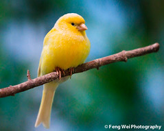 Canary (Serinus canaria) (Feng Wei Photography) Tags: china travel wallpaper pet color cute bird nature beautiful beauty animal yellow zoo golden colorful asia shanghai wildlife wing feather adorable 中国 上海 serin shanghaizoo serinusserinus 芙蓉 上海动物园 金丝雀 blinkagain dblringexcellence tplringexcellence bestofblinkwinners aboveandbeyondlevel1 aboveandbeyondlevel2