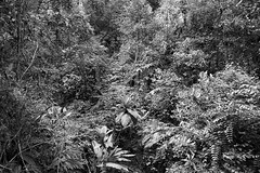 Sandakan Rainforest Discovery Centre, Borneo, Malaysia (bm^) Tags: travel kundasang sabah maleisië sandakan rainforest discovery centre tree canopy walk top boom bomen trees forest rainforst oerwoud l park distagont228 distagon282zf nikon d700 bw blackandwhite black white blackwhitephotos zf2 zeiss carl nikond700 zwart wit zwartwit reis carlzeiss my