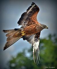 Red Kite - Buckinghamshire (Alan Woodgate) Tags: red kite wild