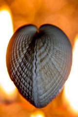 Warm the Cockles of Your Heart (Macro Monday) (Boba Fett3) Tags: macromondays hearts heart shell sealife cockle closeup upclose fire flame candlelight canon1dmkiv canon100mmf28 macro bokeh depthoffield dof glow backlit backlighting